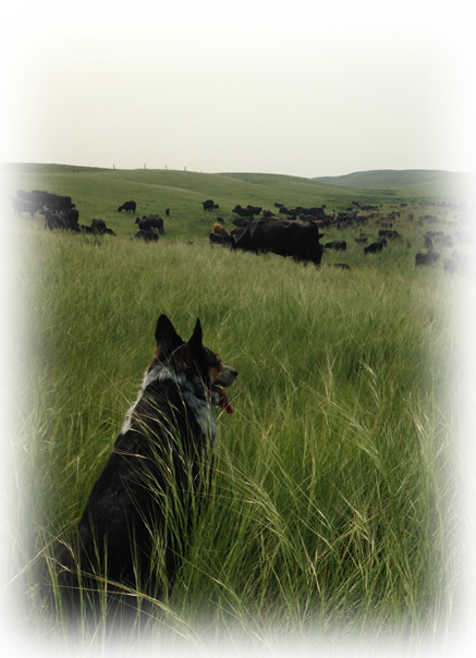 Herd dog watching cows